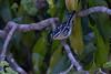 Herpsilochmus dorsimaculatus