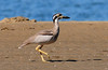 BEACH STONE-CURLEW Esacus neglectus by beeater