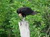 Oripopo Cabeza Amarilla Menor, Cathartes burrovianus, Lesser Yellow-Headed Vulture by C.A.Villalba