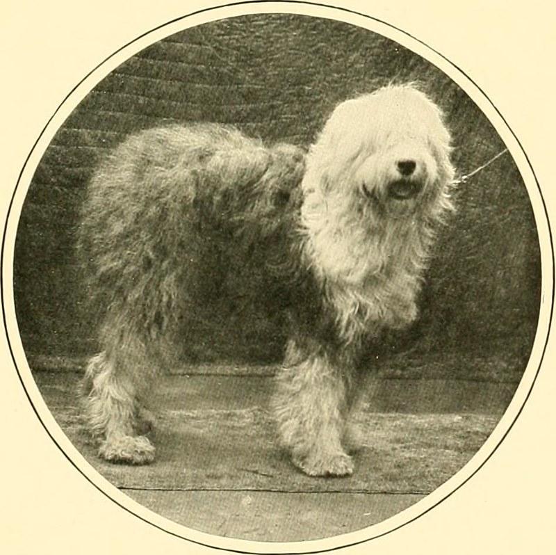 Old english sheepdog - Dog Scanner