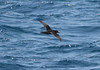 Sooty shearwater (Puffinus griseus) by TG23-Birding in a Box