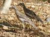 Bush Stone-curlew (Burhinus grallarius) by Francisco Piedrahita