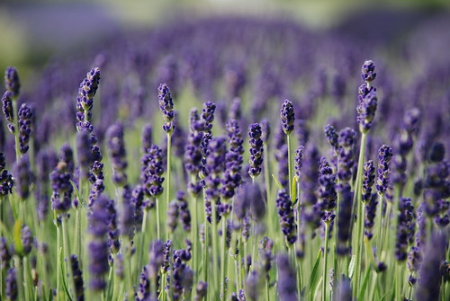 boke bokeh lavender field england uk hitchin hertfordshire june 2015 purple ラベンダー ラヴェンダー 畑 イギリス 英国 六月 花畑 花 草 草花 london ロンドン ohana lavanda flower flore nikonflickraward