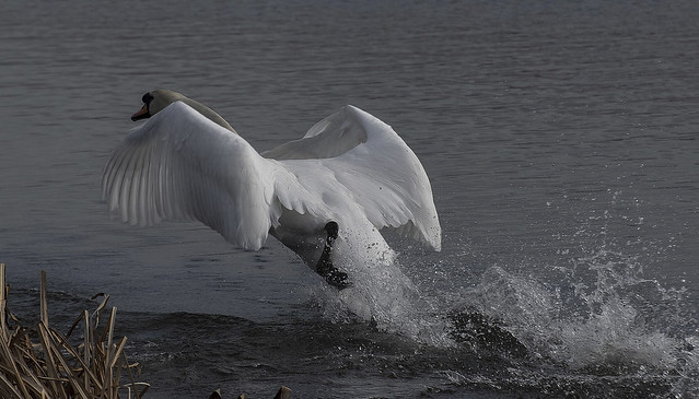 Happy  swan.