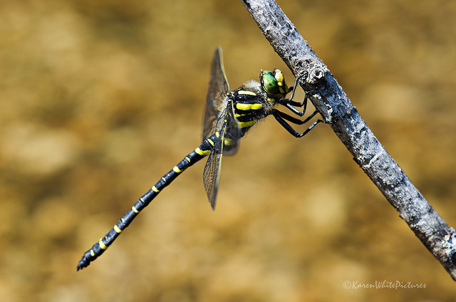 golden ringed dragonfly 27/52