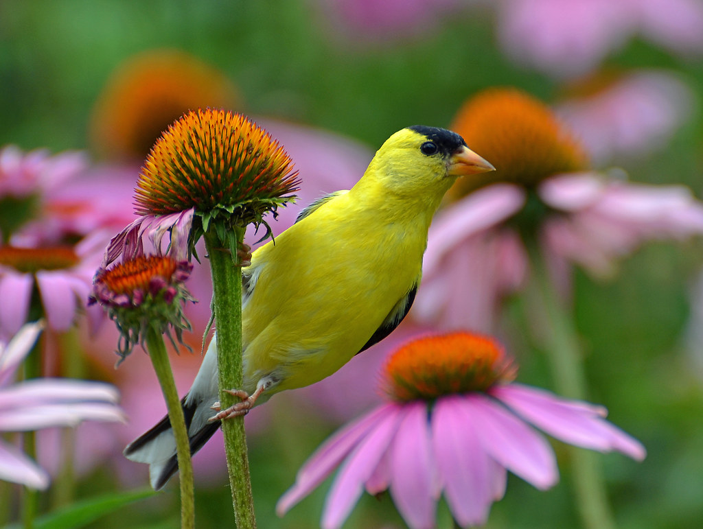Image result for goldfinch on coneflower
