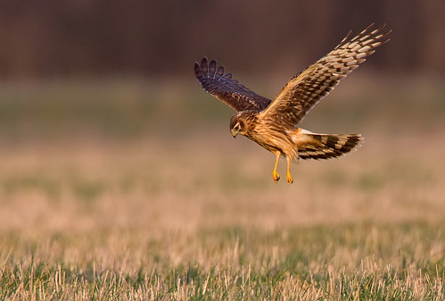 Hen Harrier | by paulcools1984