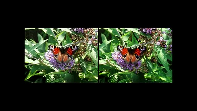 Peacock Butterfly on flower - high speed 3d movie clip - crossview