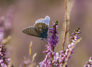 Common Blue Butterfly on Heather