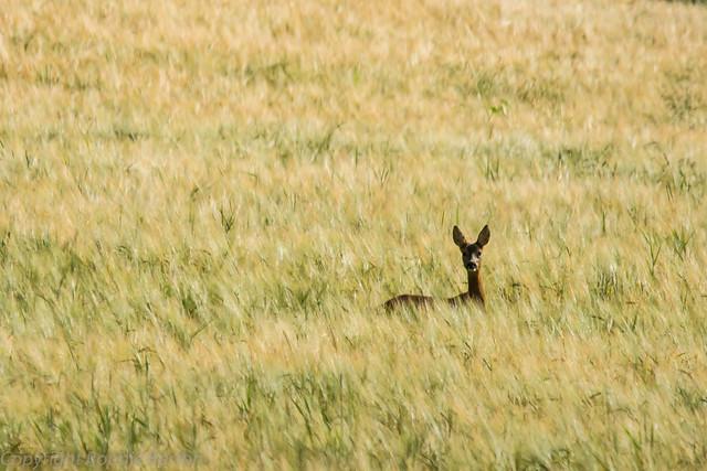 Roe deer in barley field