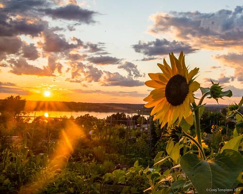 city sunset summer sun flower nature garden portland other nikon unitedstates maine newengland august sunflower portlandmaine communitygarden munjoyhill 2014 northstreet d600 backcove