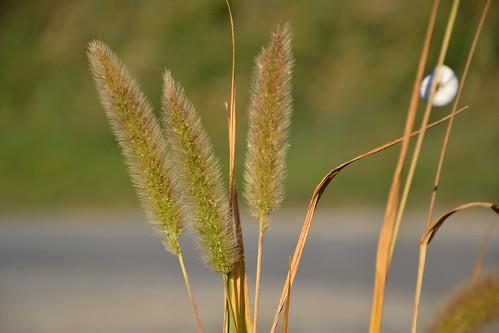 Setaria verticillata, S. viridis, S. pumila - les sétaires 33208813566_7c82e939dc