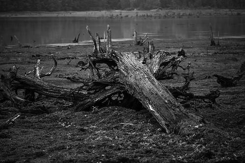 bw millerspondpleasantmountpennsylvania lake drained fallentreestump landscape treestump