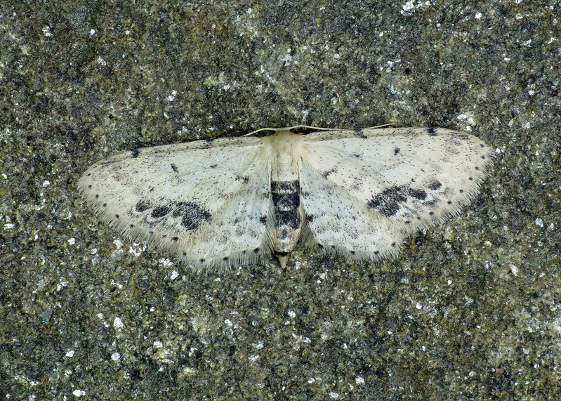 1708 Single-dotted Wave - Idaea dimidiata