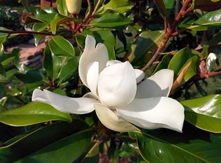 Magnolia grandiflora 'Bracken's Brown Beauty' | by WestKastle