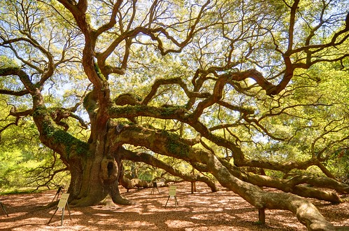 Angel Oak | by miketnorton