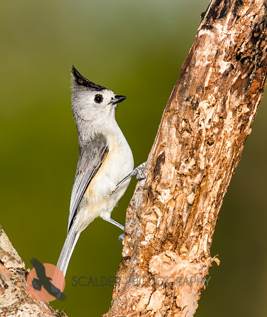 Black-Crested Titmouse perched on tree