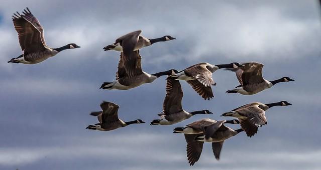 Canada geese --- Bernaches à bois des filions