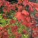 Flickr photo 'H20100805-3009--Acer circinatum--RPBG' by: John Rusk.