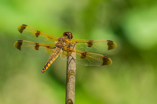 Dragonfly-Painted Skimmer