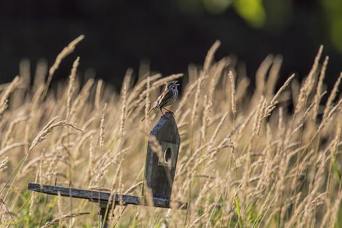 newjersey singing nj birdsong springfield lenapepark