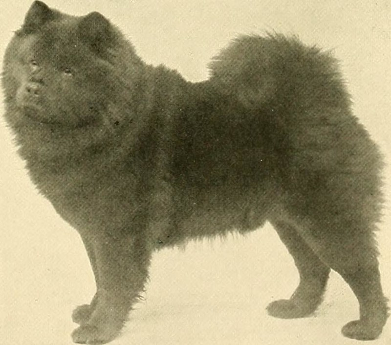 Chow-chow - Dog Scanner