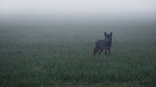 coyote morning wild nature wet field grass animal fog fur washington dew beast curious animalplanet suspicious morningdew