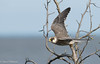 Red-footed Falcon  /Aftonfalk (Falco vespertinus) by Hans Olofsson