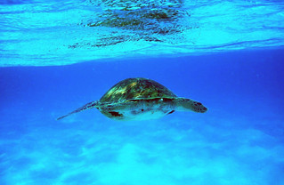 tortue-mer-caraibes | by louiseguadeloupe