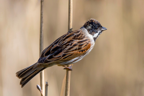reedbunting emberizaschoeniclus male reeds sunlight nature spring wildlife brown beige orange black white nikon d500 sigma 150600mmc calkeabbey nationaltrust ticknall derbyshire klythawk