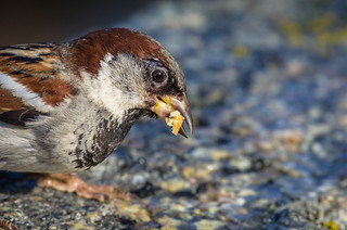 House sparrow | by Joakim Östberg