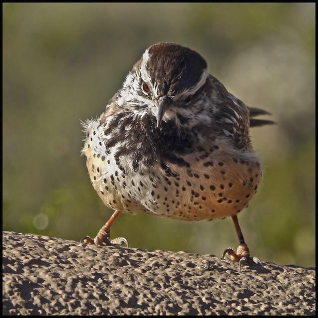 AZ-SO Bird #2