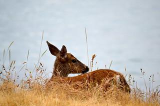 Deer | by mcoughlin
