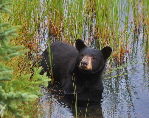 American Black Bear | by vic_206