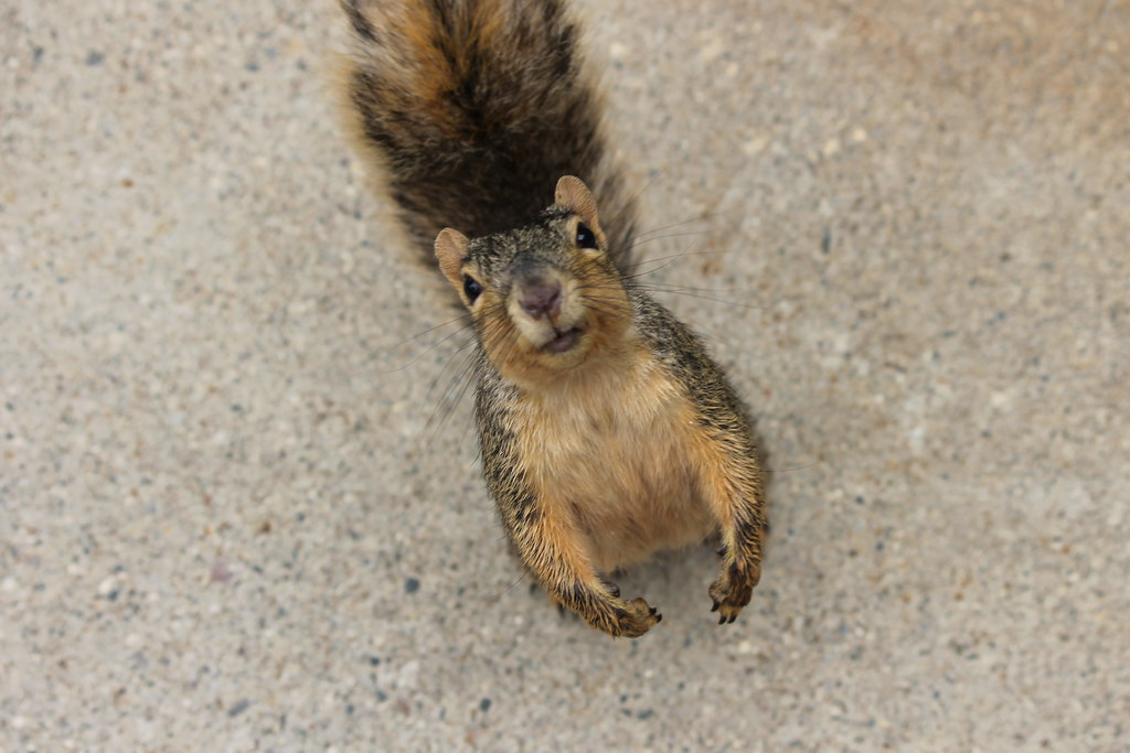 Squirrels in Summertime at the University of Michigan (August 20, 2014)