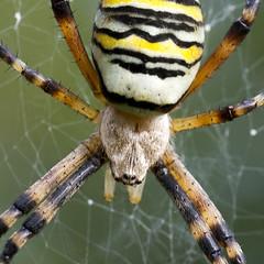Araña Avispa - Photo (c) Ouwesok, algunos derechos reservados (CC BY-NC)