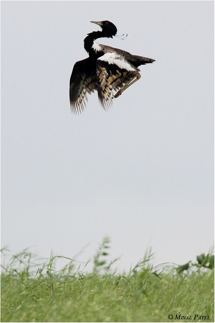 Nature beauty Lesser Florican..(khadmor) One of the endangered Spp.