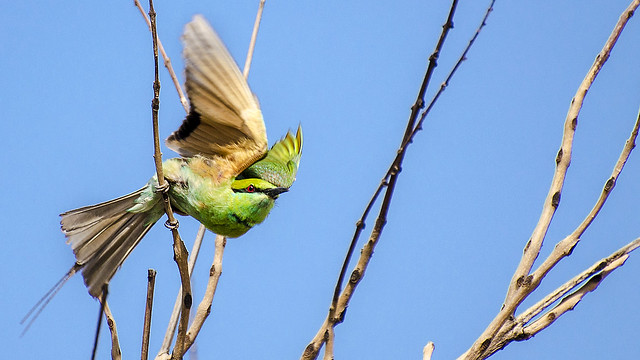 Green Bee-eater Taking Off