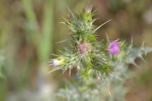 Carduus tenuiflorus - chardon à petits capitules 32913976062_ef85d59d69