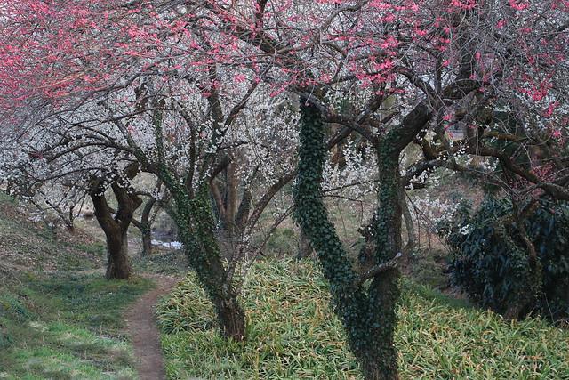 Plum Trees(Red & White)