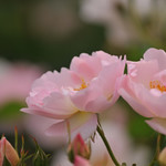 Rose ' Peach Blossom' raised in UK