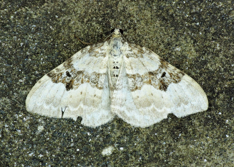 1727 Silver-ground Carpet - Xanthorhoe montanata