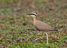 Indian courser #109 by Ramakrishnan R - my experiments with light