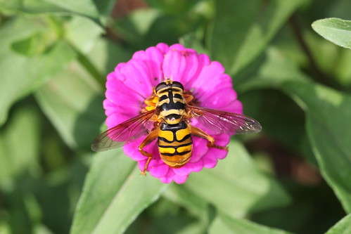 Hover Fly | by DrPhotoMoto