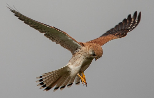 Nankeen Kestrel (Falco cenchroides)-7150 | by rawshorty
