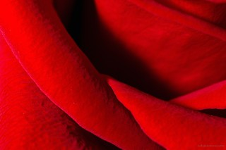 Rose Petal Detail | by hokiealumnus