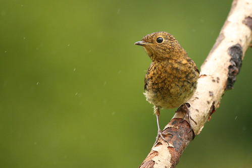 Juvenile Robin | by dinners85