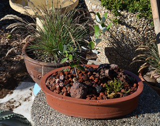 Garrya veatchii - Southern Silktassle, Dudleya gnoma and Horkelia yadonii - Santa Rosa Horkelia