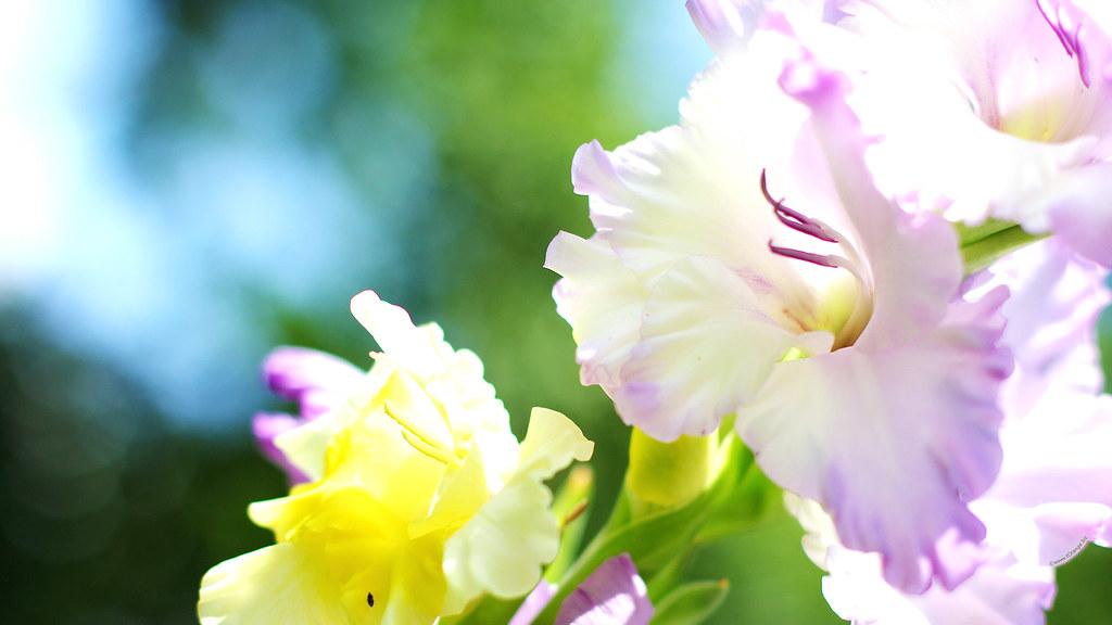Gladiolus Flower 1920x1080 Hd Desktop Wallpapers For Wides