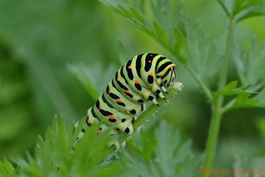 Raupe Papilio Machaon (Schwalbenschwanz)